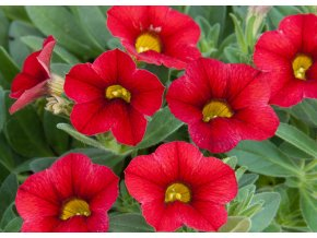 Calibrachoa  - Million Bells ´Neo Firestorm´