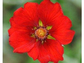 Mochna tmavočervená - Potentilla atrosanquinea