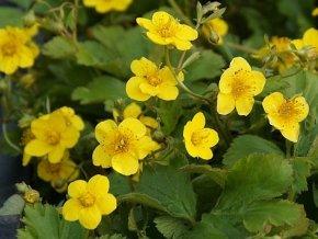 Mochnička kuklíkovitá - Waldsteinia geoides