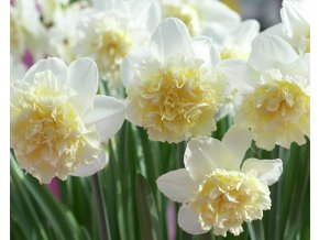 Narcis ´Ice King´