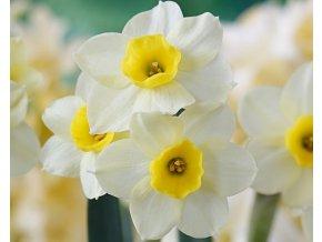 Narcis ´Minnow´ 3ks