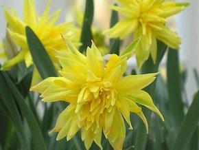 Narcis ´Rip van Winkle´