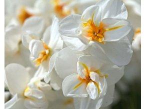 Narcis ´Sir Winston Churchill´ 3 ks