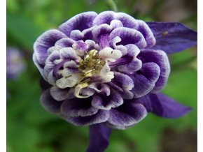 Orlíček obecný ´Winky Blue and White Double´ - Aquilegia vulgaris 'Winky Blue and White Double'