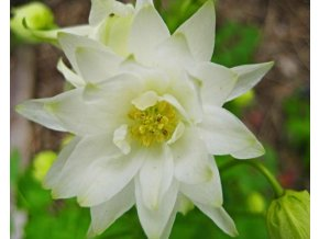 Orlíček obecný ´Winky White and White Double´ - Aquilegia vulgaris 'Winky White and White Double'