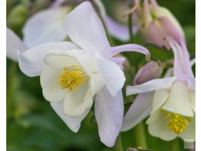 Aquilegia caeruela 'Spring Magic White'