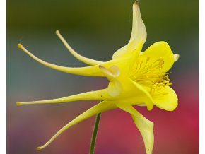 Orlíček zlatý ´Yellow Queen´ - Aquilegia chrysantha 'Yellow Queen'