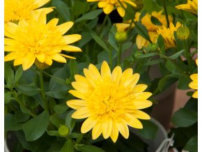 Osteospermum 3D 'Yellow´