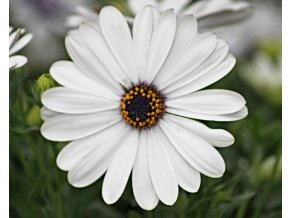Osteospermum FlowerPower 'White'