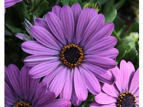 Osteospermum Compact FlowerPower 'Blue'