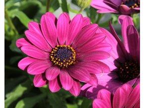 Osteospermum FlowerPower 'Purple'