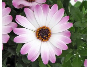 Osteospermum ´Lavander and White´