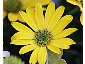 Osteospermum Compact FlowerPower 'Yellow'