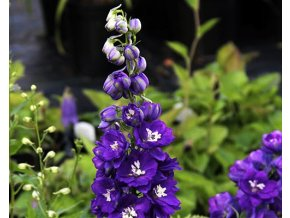 Ostrožka ´Magic Fountains Dark Blue´ - Delphinium 'Magic Fountains Dark Blue'