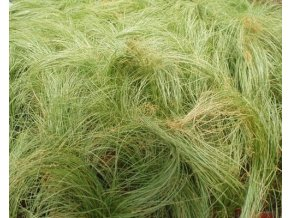 Ostřice chocholatá ´Frosted Curls´ - Carex comans 'Frosted Curls'