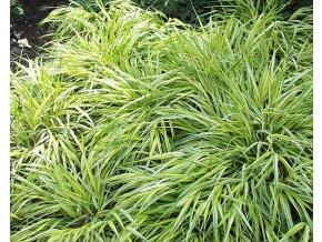 Ostřice japonská  ´Variegata´ - Carex morrowii 'Variegata'