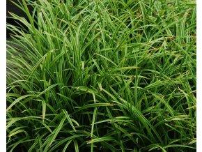 Ostřice japonská ´Ice Dance´ - Carex morrowii 'Ice Dance'