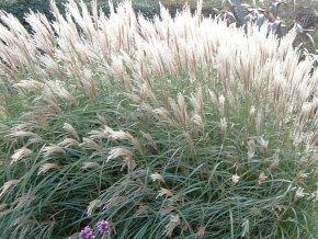 Ozdobnice čínská ´Yakushima Dwarf´ - Miscanthus sinensis 'Yakushima Dwarf'