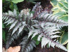 Papratka nipponicum ´Metalicum Red Beauty´ - Athyrium nipponicum 'Metalicum Red Beauty'