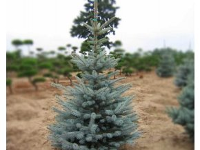 Picea pungens ´Edith´