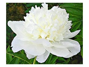 Pivoňka čínská ´White Towers®´ - Paeonia lactiflora 'White Towers'