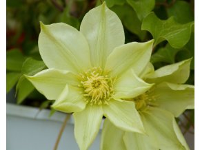 clematis moonlight