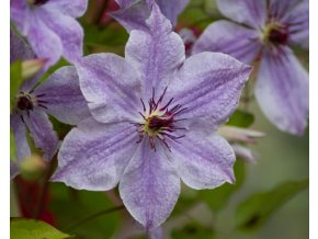clematis skyfall (2)