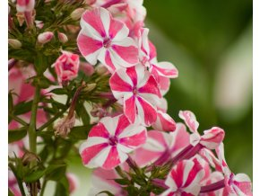 phlox paniculata peppermint twist