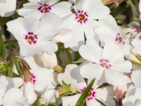 Plaménka šídlovitá ´Amazing Grace´ - Phlox subulata 'Amazing Grace'