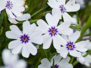 Phlox subulata 'Bavaria' (1)