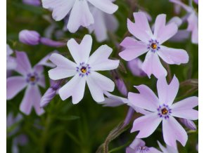 Phlox subulata Emerald Cushion Blue (1)