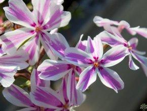 Plaménka šídlovitá ´Kimono Pink-White´ - Phlox subulata 'Kimono Pink - White'
