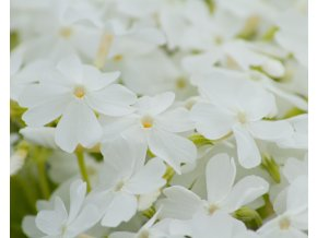 phlox subulata white delight (1)