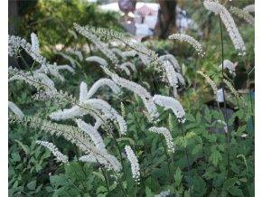 Ploštičník hroznatý - Cimicifuga racemosa