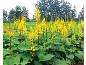 Popelivka ´The Rocket´ - Ligularia stenocephala 'The Rocket'