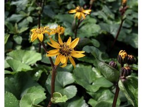Popelivka zoubkovaná ´Othello´ - Ligularia dentata 'Othello'