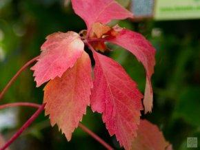 Parthenocissus quinquefolia ´Red Wall´