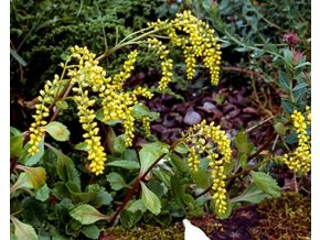Pupovice - Chiastophyllum oppositifolium