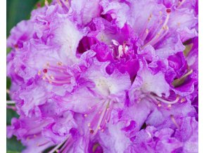 Rhododendron Alfred (1)