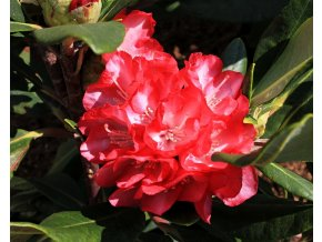 Rododendron ´Ann Lindsay´