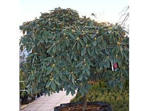 Rododendron ´Anuschka´