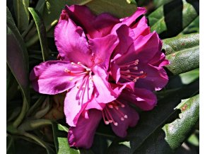 Rododendron ´Boleslaw Chrobry/Royal Lilac´