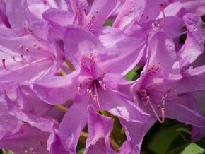 Rododendron ´Catawbiense Grandiflorum´