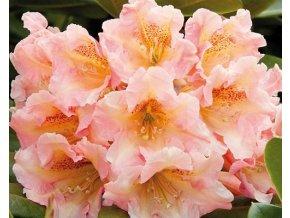 Rododendron ´Flautando´