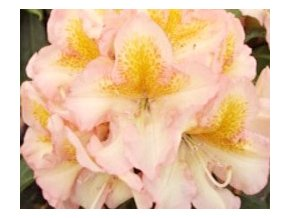 Rododendron ´Fluidum´
