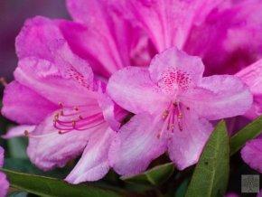 Rhododendron Graziella