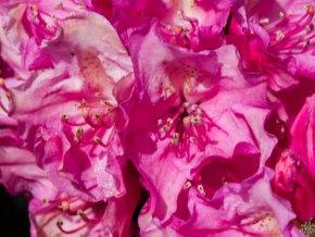 Rododendron ´Haaga´