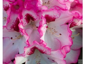 Rhododendron Hachman Charmant