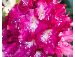 Rhododendron Royal Scarlet