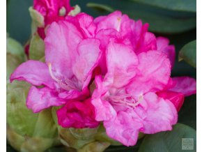 Rhododendron Royal Candy